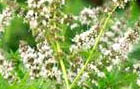 SPEARMINT flowers pics
