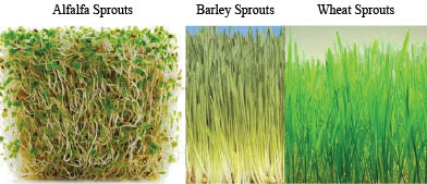 alfalfa, barley, wheat sprouts