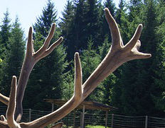 antler deer