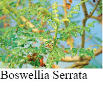 boswellia sample for article