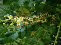 boswellia plant