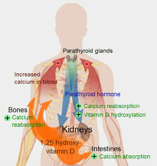 calcium absorption
