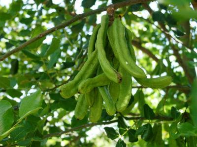 carob plant