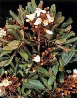 catuaba plant