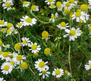How chamomile works to relax you and help you sleep better article - Plants that help you sleep natures soothing effect ...
