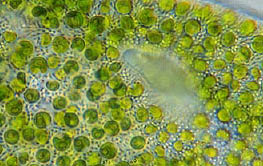 Chlorella - single celled Algae