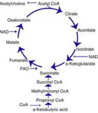 pantothenic acid and krebs cycle