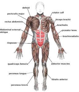 muscle glutamine
