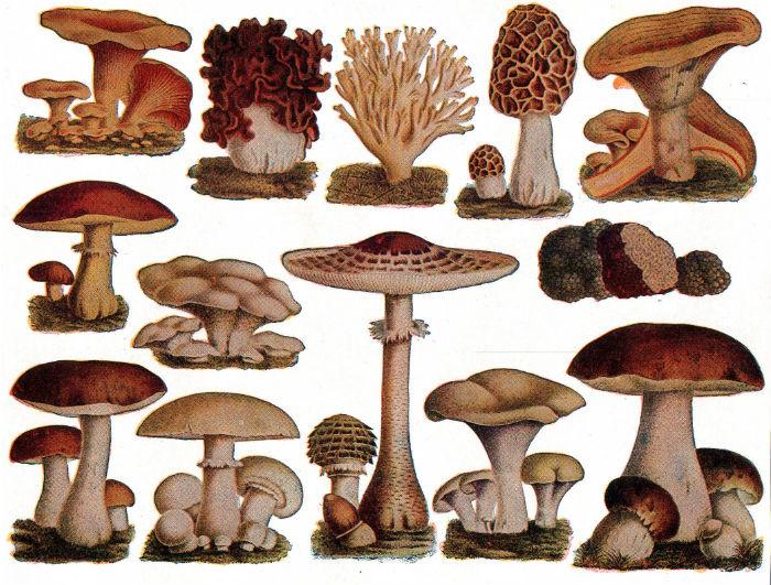 edible mushroom
