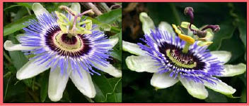 passion flower pics