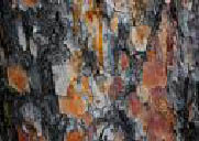 Pine Bark Picture