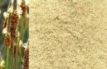 psyllium fiber plant