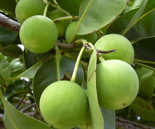 tamanu plant