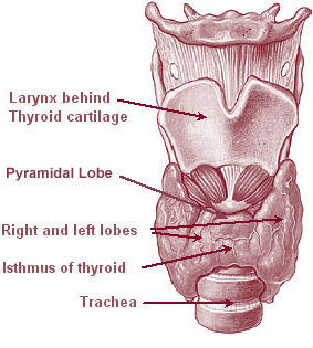 human thyroid