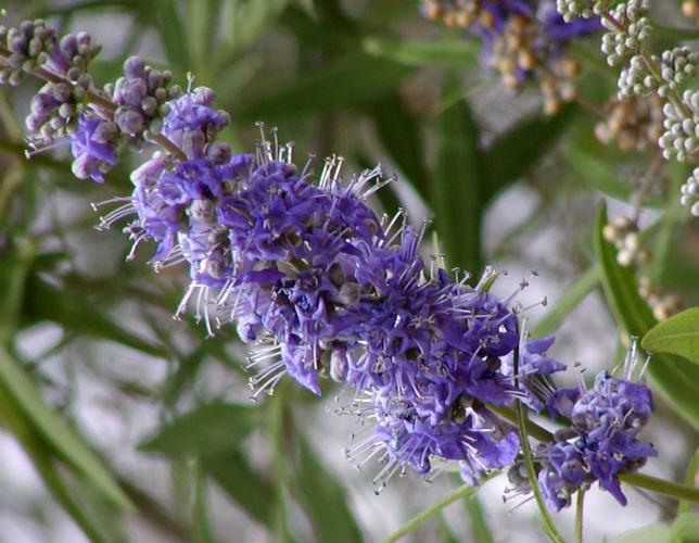 vitex flower